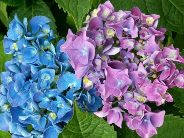 medium_hortensia4.jpg